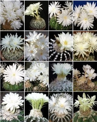 Discocactus variety MIX cactus cacti rare seed 50 SEEDS
