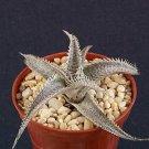 Dyckia marnier lapostollei rare succulent plant cacti 4