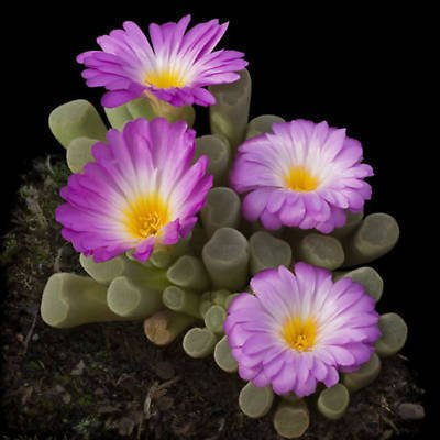 Frithia pulchra rare cactus mesembs cacti seed 50 SEEDS