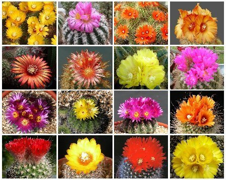 PARODIA VARIETY MIX FLOWERING CACTUS SEED 500 SEEDS OJO
