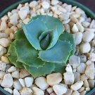 """Agave isthmensis @ rare succulent plant cactus cacti 4"""""""