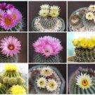 Notocactus VARIETY MIX @ Parodia cactus seed 1000 SEEDS