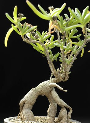 Mestoklema macrorrhizum rare mesemb cacti seed 50 SEEDS