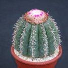 """Melocactus conoideus, exotic rare cacti plant cactus 4"""""""