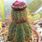"""Melocactus ernestii @ exotic rare cacti plant cactus 4"""""""