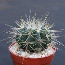 """Melocactus ernestii v. albispinus cacti plant cactus 4"""""""