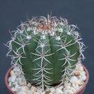 """Melocactus matanzanus rare exotic cacti plant cactus 4"""""""