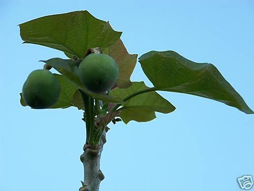 Jatropha curcas @\@  rare succulent plant seed 50 seeds