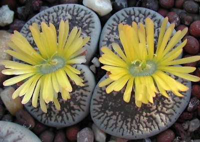 Lithops aucampiae @@ living stone cactus seed 100 SEEDS