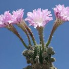 Echinopsis oxygona @J@ rare cactus seed cacti 100 SEEDS