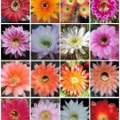 ECHINOPSIS variety mix cacti cacti shick seed 100 SEEDS