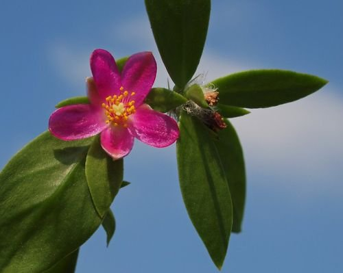 "Pereskia diaz romeroana @J@ rare plant cactus caudex 4"""