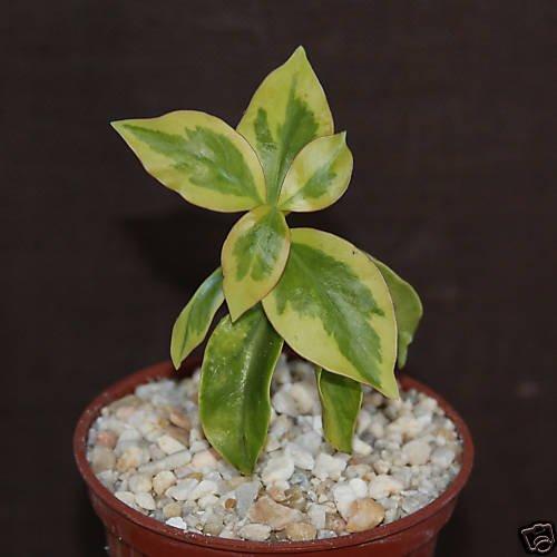 """Pereskia aculeata VARIEGATED rare plant cactus 4"""" pot V"""