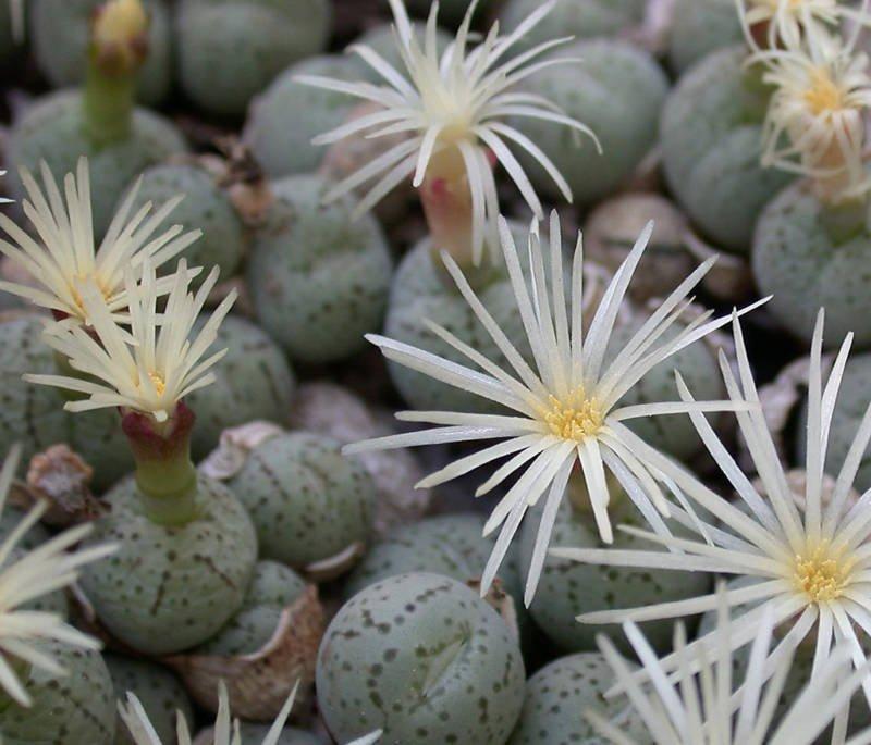 Conophytum karamoepense rare mesemb cacti seed 50 SEEDS