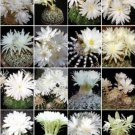 Discocactus variety MIX @@ exotic cactus seed 100 SEEDS