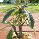 Dorstenia crispa exotic rare caudex succulents bonsai cactus aloe seed 100 SEEDS