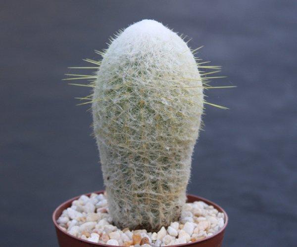 Espostoa melanostele columnar rare cacti cactus plant 4