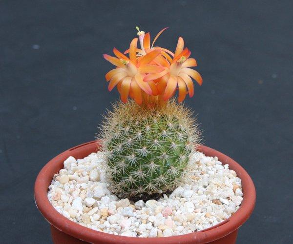 """Matucana weberbaueri flammea rare cacti cactus plant 4"""""""