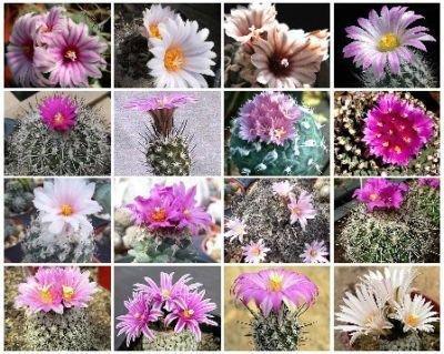 Turbinicarpus MIX cacti rare cactus seed aloe 100 SEEDS