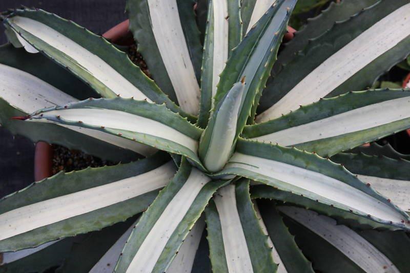 AGAVE AMERICANA MEDIOPICTA ALBA variegated plant aloe 4
