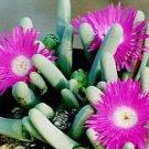 Argyroderma fissum @J@ rare mesem cactus seed 100 SEEDS