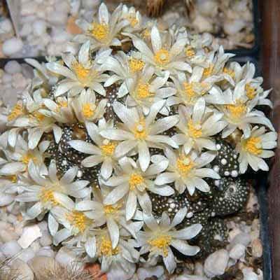 Blossfeldia liliputana, cacti rare cactus seed 50 SEEDS