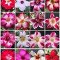 Adenium desert rose bonsai cactus cacti seed 15 seeds M