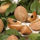 Manilkara sapota, chiku rare exotic sweet fruit good to eat edible seed 20 SEEDS