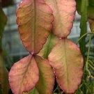 Rhipsalis elliptica rare epiphyllum cacti seed 20 SEEDS