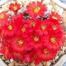"""Rebutia marsoneri exotic flowering cluster red flower rare cacti cactus plant 4"""""""