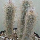 Austrocephalocereus dybowskii rare cactus seed 20 SEEDS