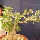 Pachypodium Lealii, madagascar palm cactus seed 5 SEEDS