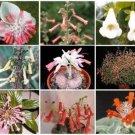 SINNINGIA VARIETY MIX @ rare caudex plant seed 20 SEEDS