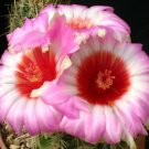 Thelocactus bicolor schwarsii, cacti rare seed 20 SEEDS