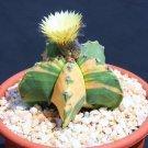 Astrophytum nudun, variegated rare cactus seed 10 SEEDS