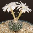 Discocactus horstii Hybrid exotic collector cacti rare cactus aloe seed 50 SEEDS
