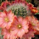 Rebutia fiebrigii, @j@ exotic rare cactus seed 20 SEEDS