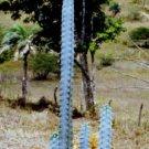 Pilosocereus pentaedrophorus cacti cactus seed 20 SEEDS