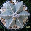 Astrophytum multicostatum 6 ribs myriostigma exotic rare cactus seed 50 SEEDS