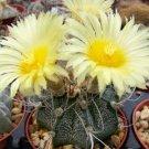 Astrophytum crassispinoides hybrid capricorne yellow rare cactus seed 50 SEEDS