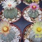 Astrophytum asterias kabuto MIX sand dollar cacti rare cactus kiko seed 50 SEEDS