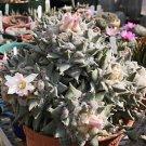 Ariocarpus retusus @@ living rock plant aztekium rare cactus cacti seed 50 SEEDS