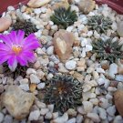 Ariocarpus kotschoubeyanus @J@ living rock plant stone rare cactus seed 50 SEEDS