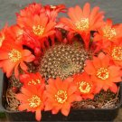 Rebutia wessneriana @ exotic flower rare flowering cactus cluster seed 100 SEEDS