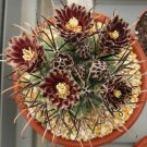 Sclerocactus uncinatus, exotic rare flowering cacti flower cactus seed 100 SEEDS