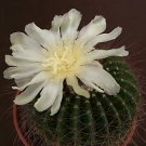 Parodia Shumanniana yellow flower rare cactus notocactus seed 150 SEEDS