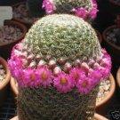 Mammillaria Matudae, rare globular cacti pincushion cactus spines seed 500 SEEDS