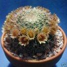 Mammillaria Gummifera pincushion globular cacti rare cactus agave seed 100 SEEDS