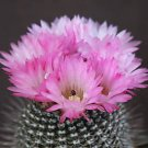 Notocactus rutilans parodia rare exotic cactus collection flower cacti 150 SEEDS