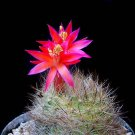Matucana haynei exotic globular cacti rare flowering color cactus seed 100 SEEDS